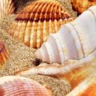 La Conch ou Lambi, coquillage emblématique des Bahamas